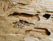 Those tunnels are left by the termites eating their way through the wood.